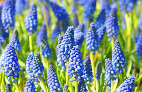 Hyacinths Grape muscari armeniacum (25 bulbs)
