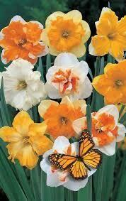 Narcissus Butterfly Mixture Split Corona (8 bulbs)
