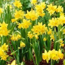 Narcissus Tete a Tete (20 bulbs)