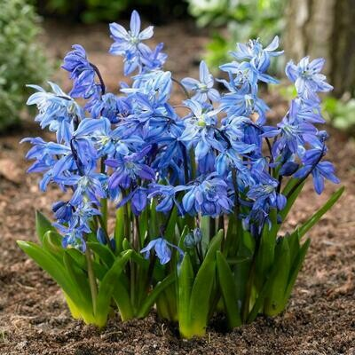 Squill Siberian (15 bulbs)