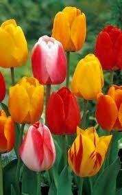 Tulips Dwarf Hybrid Tequila Sunrise Mixture (10 bulbs)