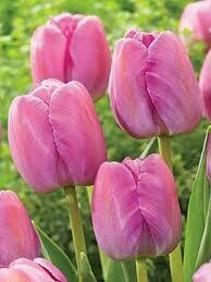 Tulips Dwarf Hybrid Purple Pride (8 bulbs)