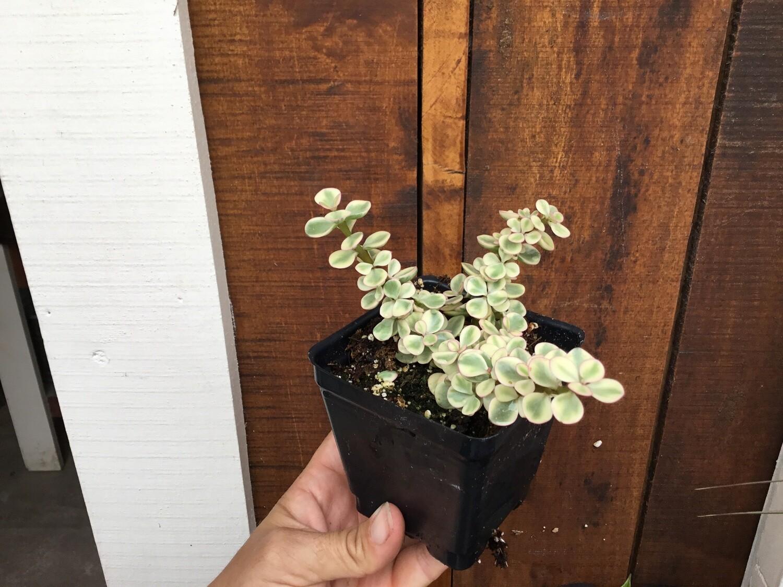 "Portulacaria afra variegata 'Variegated Elephant's Food Variegated' (3 1/2"" pot succulent)"