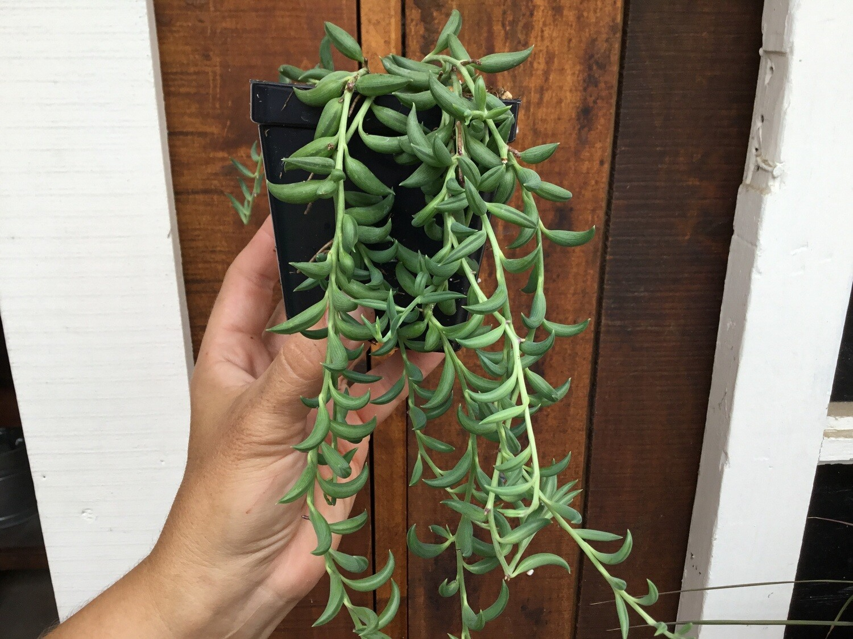 "Senecio radicans 'String of Bananas' (3 1/2"" pot succulent)"