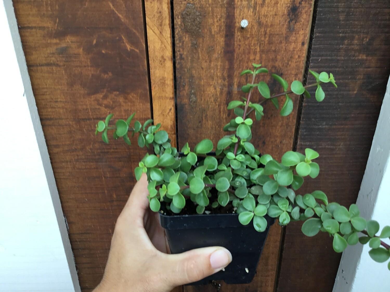 """Portulacaria afra 'Minima' / 'Elephant's Food Green' (3 1/2"""" pot succulent)"""