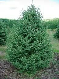 (Fresh Dug Pre-Sale) Spruce White 7' b/b $199.99 *(Available Early October)