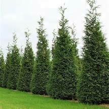 (Fresh Dug Pre-Sale) Arborvitae Green Giant (7-8' b/b) $199.99 *(Available Late October)