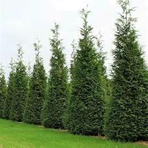(Fresh Dug) Arborvitae Green Giant (7-8' b/b) $199.99