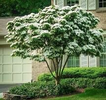 Dogwood Kousa Clump Form (6' -8') $169.99