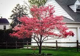 (Fresh Dug Pre-Sale) Dogwood Pink Cherokee Chief (6-8') $129.99