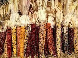 Indian Corn 3 Ear Bunch Small $4.99 (popcorn on cob)