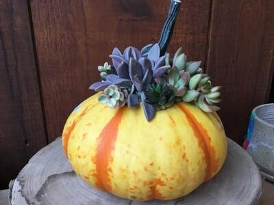 Striped Pumpkin Succulent Creation