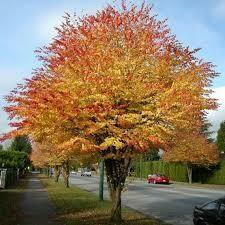 Katsura Tree Cercidiph. Japonicum (15 gallon) $149.99