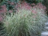 Grass Miscanthus Dixieland (gallon) $12.99
