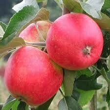 Fruit Tree Apple Pink Lady (5 gallon) $99.99