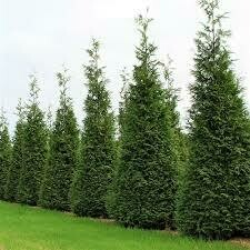 Arborvitae Green Giant (6' container) $149.99