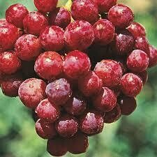 Grapes Reliance Seedless (2 gallon) $29.99