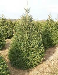 (Fresh Dug) Spruce Norway (8' b/b) $249.99