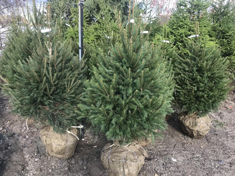 Spruce Norway Picea Abies (3' -4' b/b) $129.99