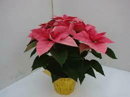 Poinsettia Pink (6