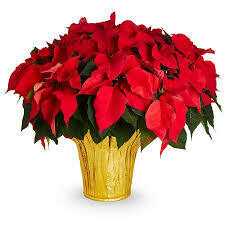 """Poinsettia Red (Large 8"""") $19.99"""