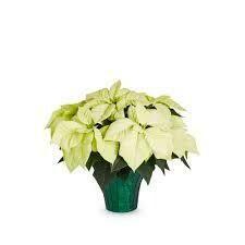 """Poinsettia White (Small 4"""") $4.99"""