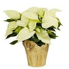 """Poinsettia White (6"""" pot) $9.99"""