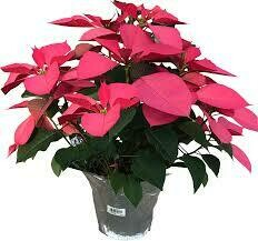 "Poinsettia Pink (Large 8"") $19.99"