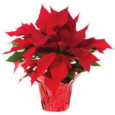 "Poinsettia Red (6"" pot) $9.99"