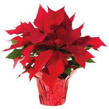 Poinsettia Red (6