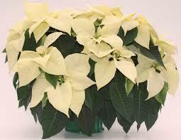 Poinsettia White (Large 8