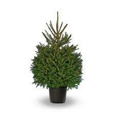 "Spruce Norway Picea Abies (7 gallon container 36"") $69.99"
