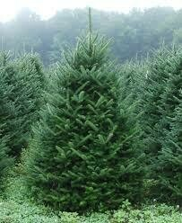 6-7' Christmas Tree (Fresh Cut Canaan Fir) $55.00
