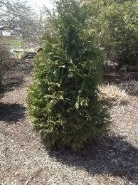 Arborvitae JUNIOR Giant (7 gallon) $159.99