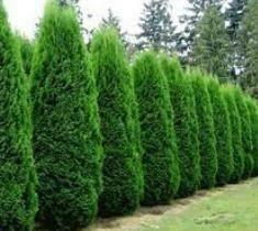 Arborvitae Thuja Smaragd Emerald Green (1 gallon) $24.99