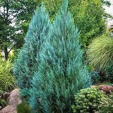 Juniper Blue Point (3 gallon) $69.99