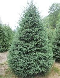 Spruce White (7-8' b/b) $299.99
