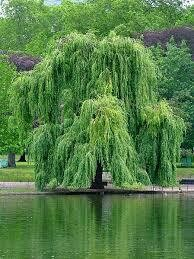 Willow Weeping (7 gallon) $159.99