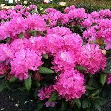Rhododendron Roseum Elegans $59.99