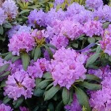 Rhododendron Cat. Boursault (3 gallon) $59.99