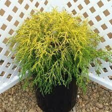 Falsecypress Chamaecyparis Lemonthread (1 gallon) $24.99