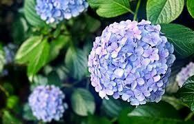 Hydrangea Endless Summer Bloomstruck $52.99