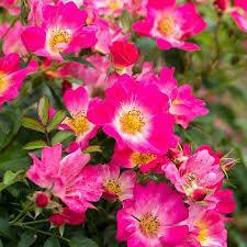 Rose Drift Pink (2 gallon) $49.99