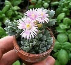 """Lampranthus deltoids 'Pink Ice Plant' (3 1/2"""" pot succulent) $7.99"""