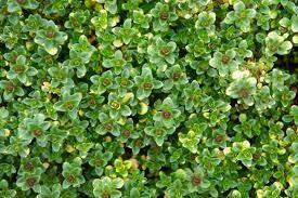 """Thyme Doone Valley (3"""" herb pot) $6.99"""