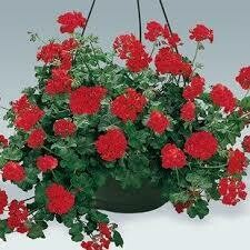 Hanging Geranium Basket Red Ivy League $39.99