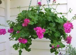 Hanging Geranium Basket Contessa Pink $39.99