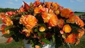 PW Begonia Nonstop Fire (quart pot)