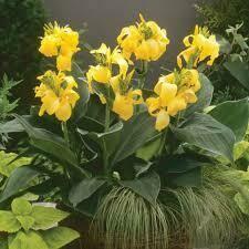 Canna Toucan Yellow (gallon pot) $24.99
