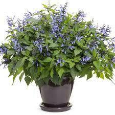PW Salvia Rockin Blue Suede Shoes (quart pot)